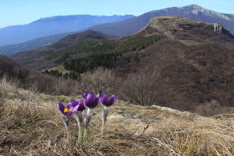 Сон-трава, весна На Северной Демерджиphoto preview