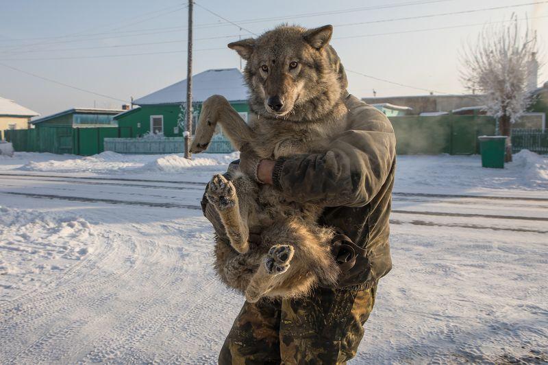 Январь. Прогулка с волком.photo preview