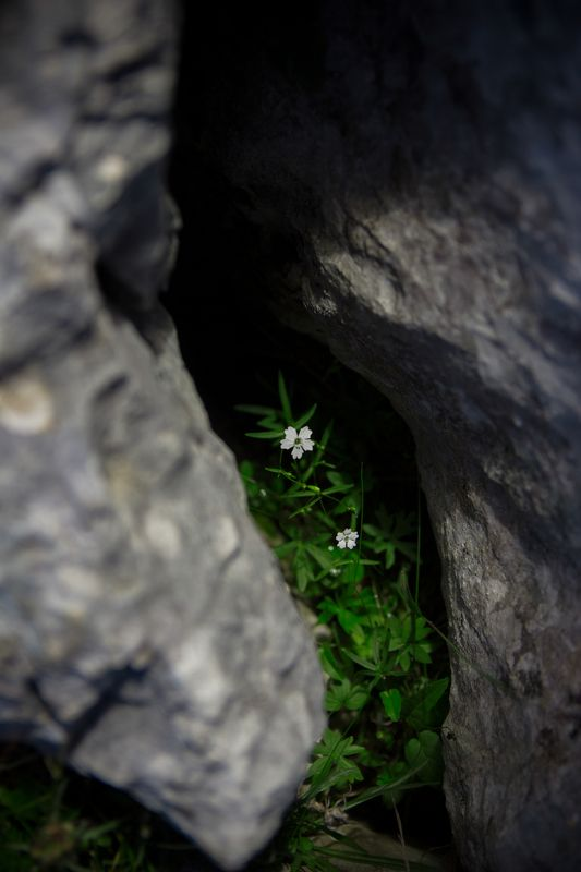 цвет, камен, загрљај, природа, планина, црна гора, дурмитор, пукотина, цветно, биљка,flower, rock, hug, nature, mountain, montenegro, durmitor, crack, floral, plant, In the hug of Naturephoto preview