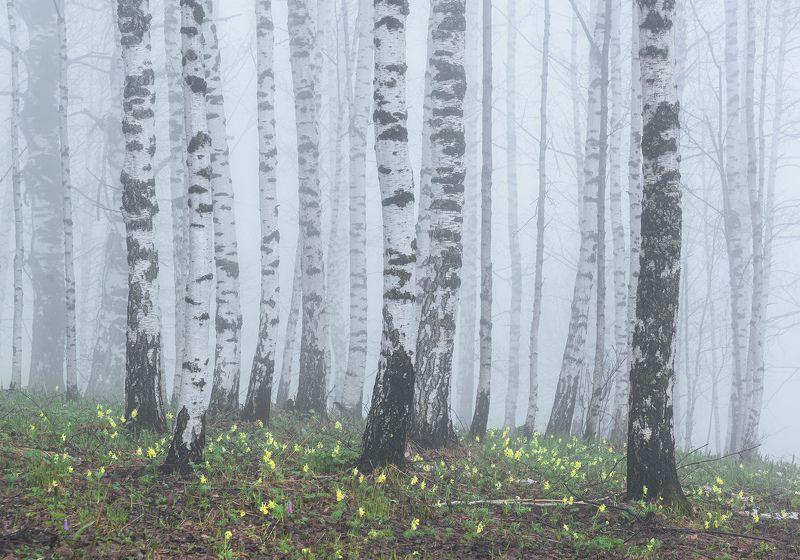 алтай, весна, сибирь, цветение, хохлатки, предгорья, березы, березовая роща Весенний туманphoto preview
