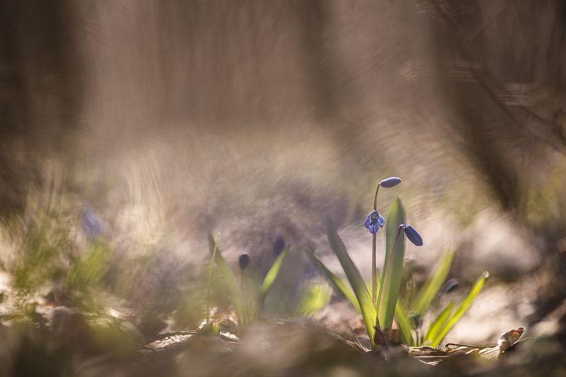 пролески, первоцветы, свет, цвет, апрель, весна, позитив, геннадий мещеряков, воронеж, Чумачечная весна...photo preview