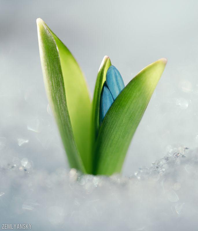 Макро, Пролеска,  Весна, Голубой, Снег, Цветы Всем весныphoto preview