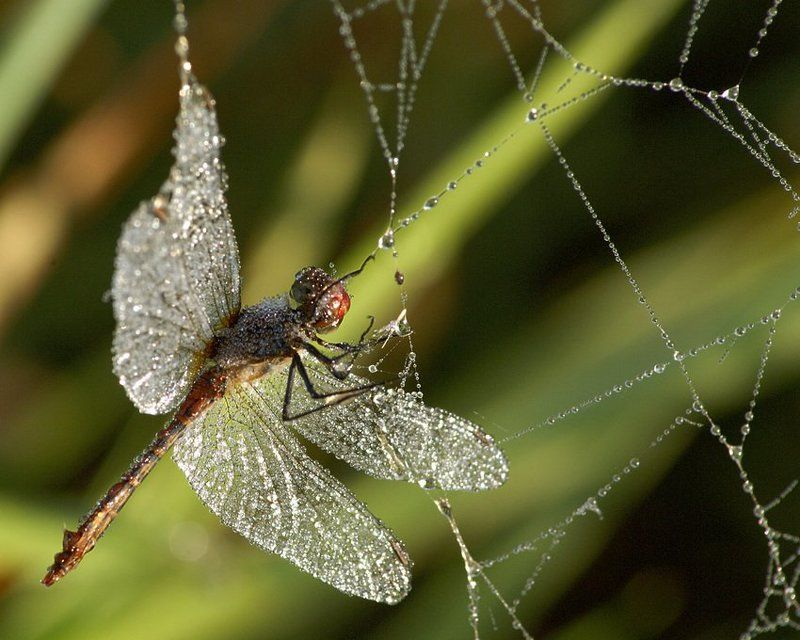 паутина, стрекоза, роса Swarovski поневолеphoto preview