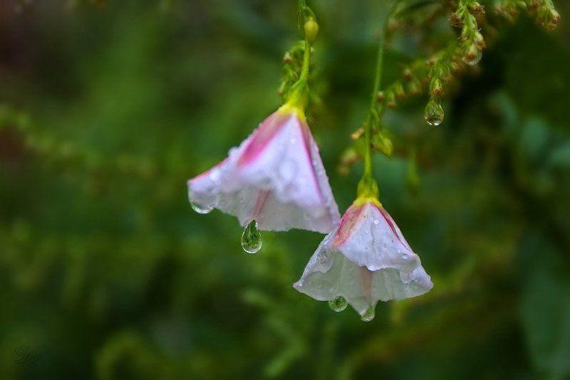 дождь, капли Шербургские зонтикиphoto preview