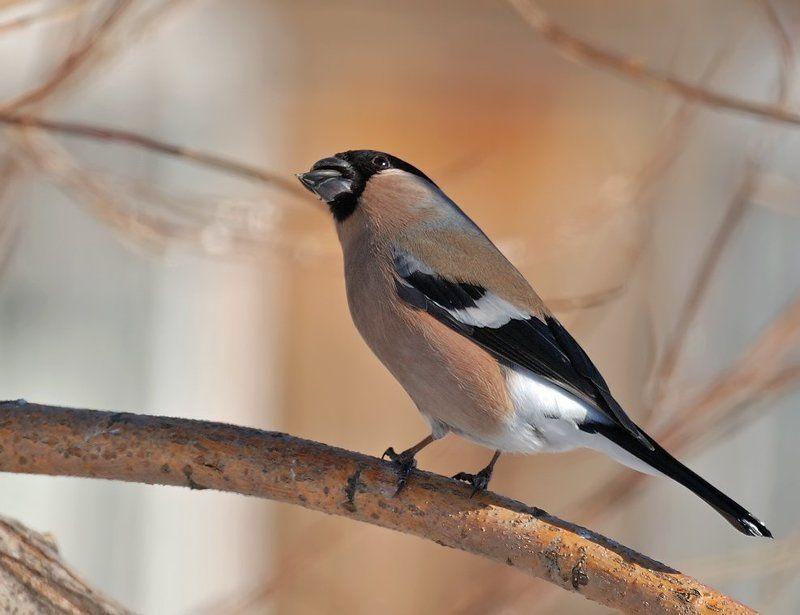 птица, снегирь, самка Вечный кайф...photo preview