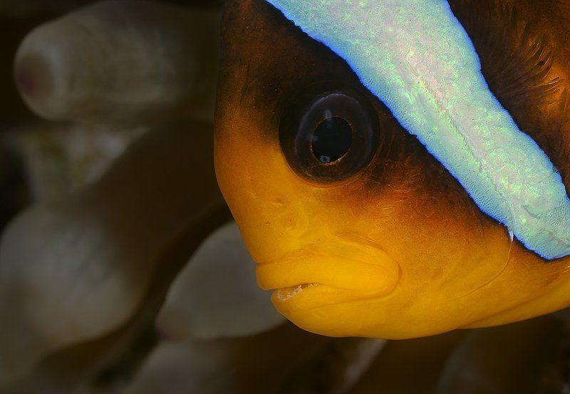красное море, амфиприон, актиния Портрет с актинией на заднем планеphoto preview