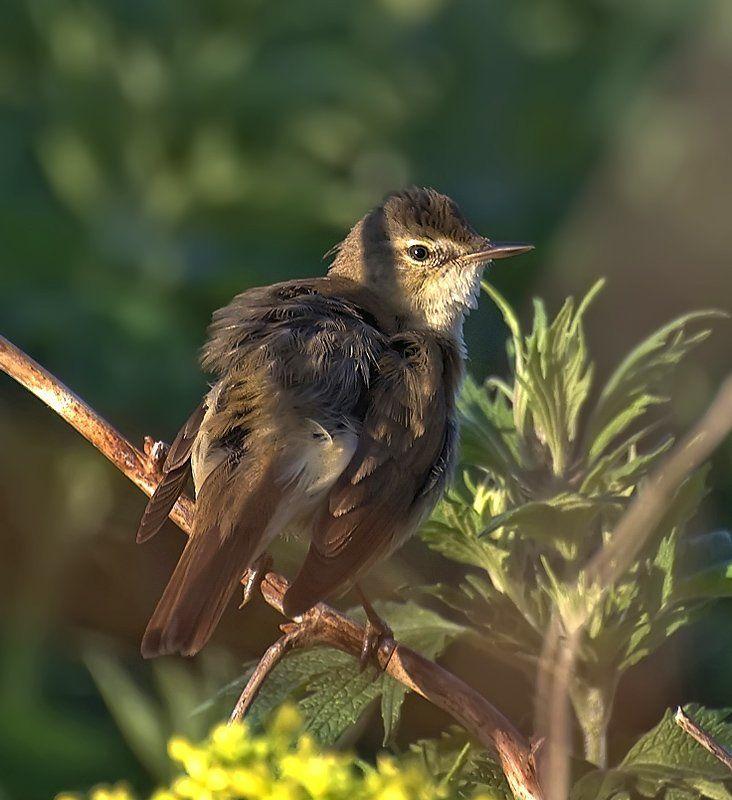 птица,природа,камышевка Утренний ветерок...photo preview