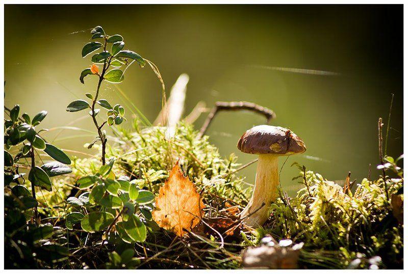 гриб, мох, лес, трава, листик Грибочекphoto preview