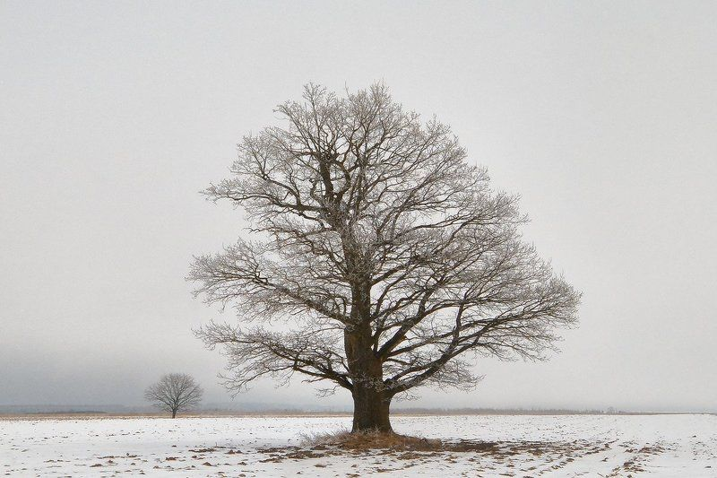 дуб, иней, поле, снег, ветви | Белая крона |photo preview