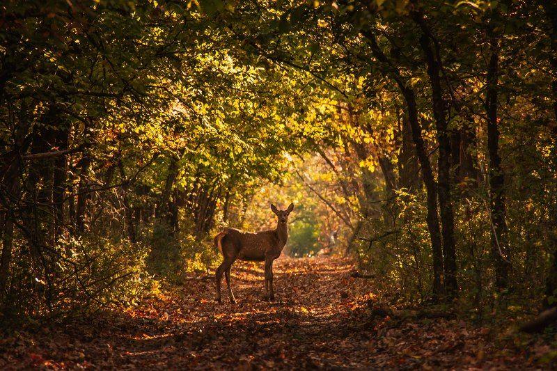 олень, животные, природа, лес Встреча на лесной дорогеphoto preview