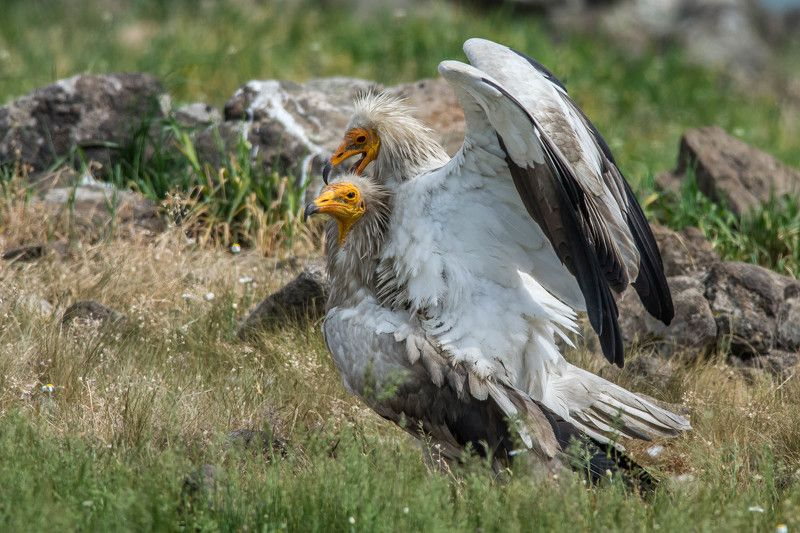 Egyptian vultures copulationphoto preview
