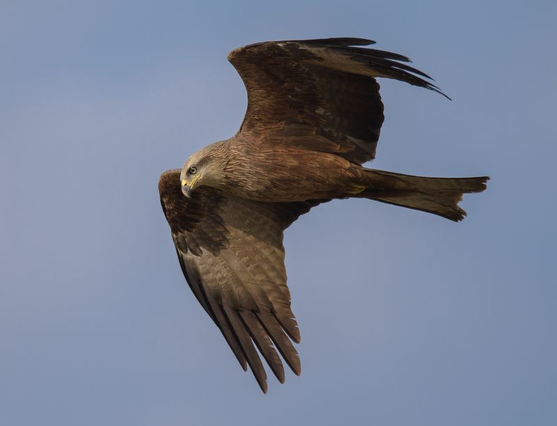коршун, чёрный коршун, milvus migrans, птица в полёте, полёт, хищная птица, хищник, крупный план, дикая природа, подмосковье, одинцовский район, оперение, крылья, хищный взгляд Знакомство с территориейphoto preview