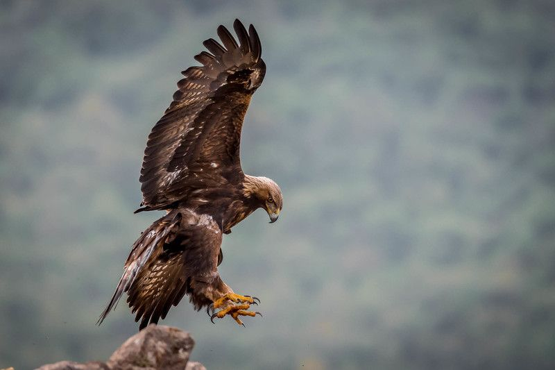 Golden Eagle attackphoto preview