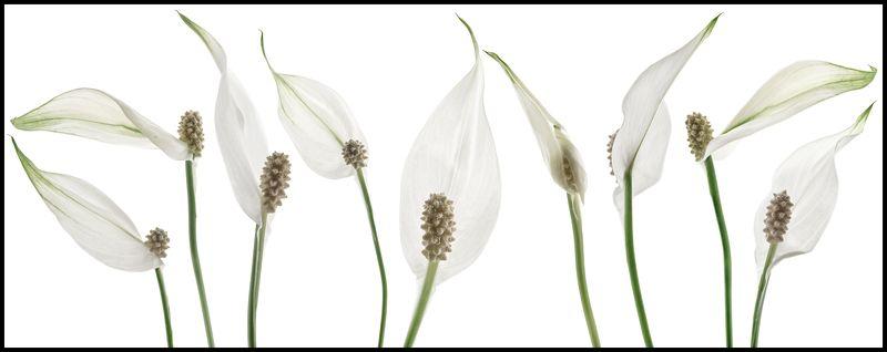 цветы,цветок,макро,растения,природа,бутоны,спатифиллум Спатифиллум или цветок женское счастьеphoto preview