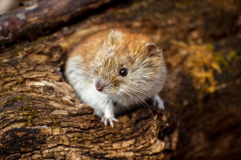 мышь, полевка, животное, грызун, мышка Кто здесь?photo preview