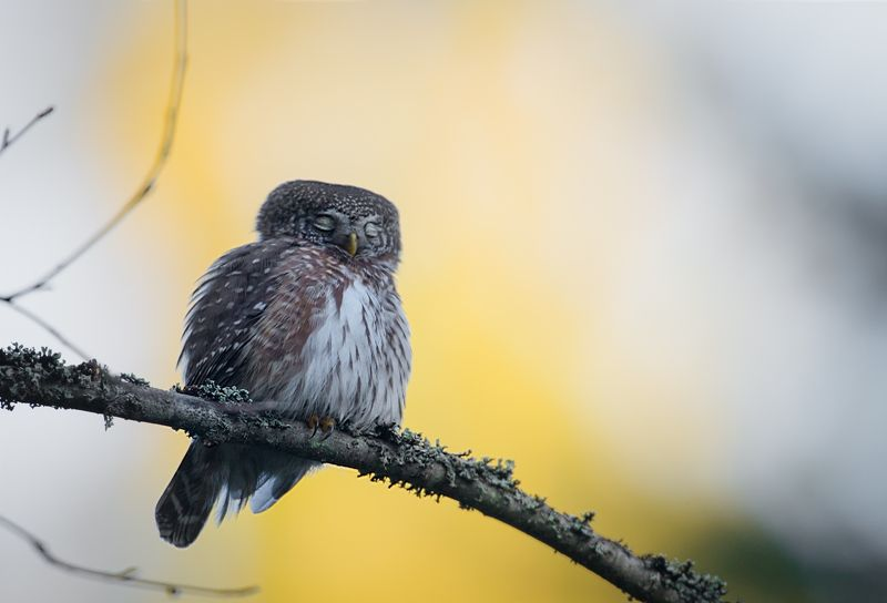 pygmy owl, finland Eurasian Pygmy Owl, Finlandphoto preview