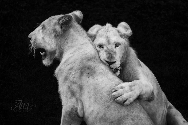 лев, львята, альбиносы, братья, отношения, двое, животные Brothersphoto preview
