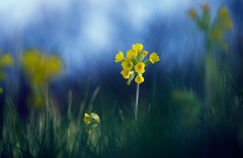flowers,primula veris,nature,macro,fairy,flower,wild,close up,beautiful, Primula verisphoto preview
