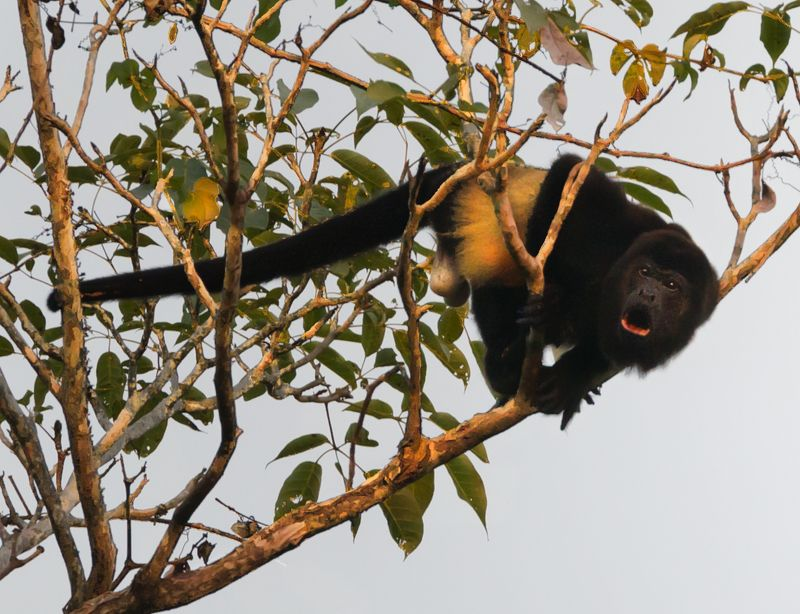 howler monkey Stay Awayphoto preview