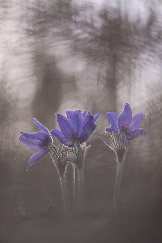 сон трава, свет, цвет, весна, апрель, маклок, воронеж, геннадий мещеряков Хоровод снов...photo preview