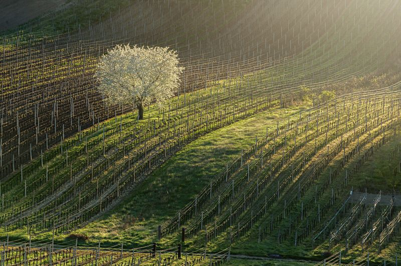 south, moravia, vineyard, czech, tree, flower King of vineyardsphoto preview