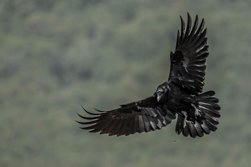 #mountain #wildlife #fly #bird #raven #actoin #portrait #adventure #animal #places #nature черный воронphoto preview