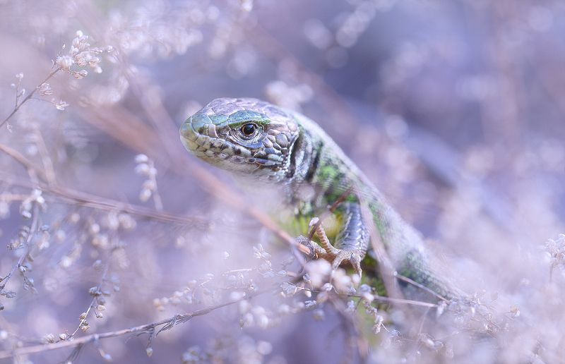 wild,wildlife,lizard,faerie,fairy,macro,beautiful,nature,close up, Lizardphoto preview