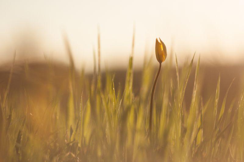 тюльпан, природа, макро, цветы, природа Тюльпаны Биберштейнаphoto preview