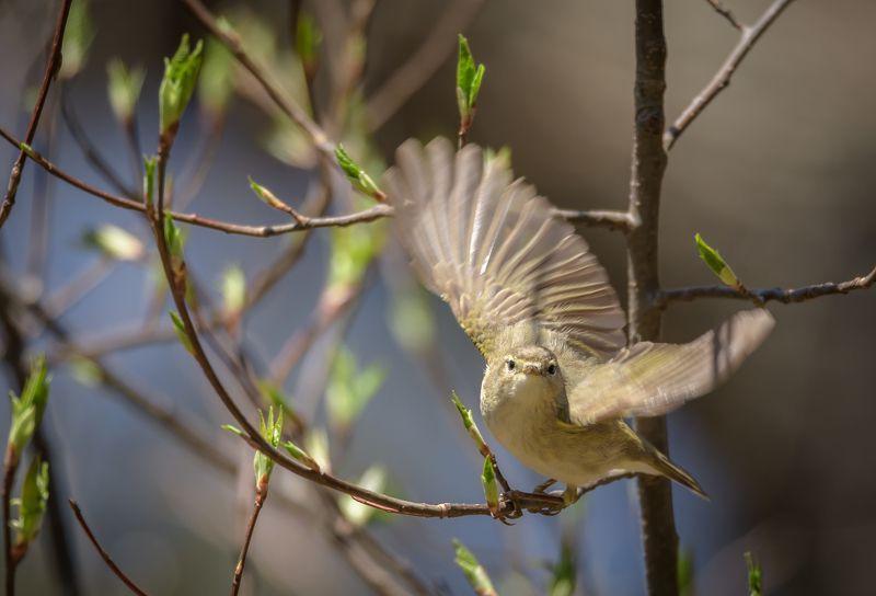 phylloscopus collybita, пеночка-теньковка, пеночка кузнечик, пеночка, птица, крошка, весна, апрель, тень-тень, вестница весны, почки, молодые листочки, крылья, момент, взлёт Танец пеночкиphoto preview