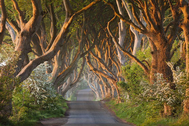 пейзаж, аллея, утро, рассвет, ирландия,  sunrise, ireland, landscape, morning На рассветеphoto preview