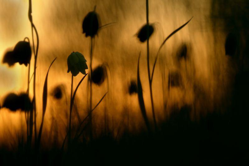 рябчик, малый, fritillaria, meleagroides, самарский лес На заре вечернейphoto preview