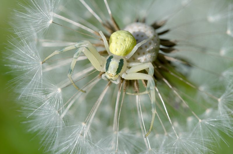 Crab spiderphoto preview