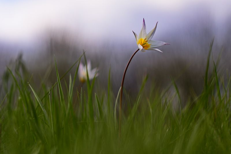 тюльпан, дубравный, tulipa, sylvestris, самарский лес Тюльпаныphoto preview