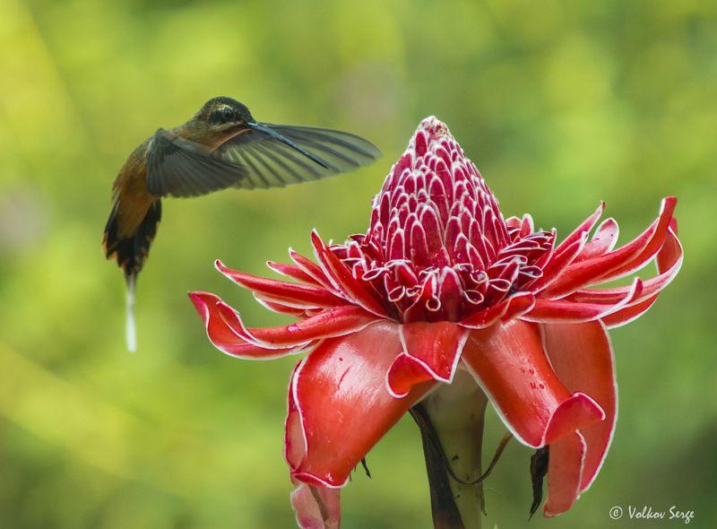 колибри, phaethornis koepckeae, южная америка, перу, wildlife, дикие животные, птицы, бёрдвотчинг Отшельникphoto preview