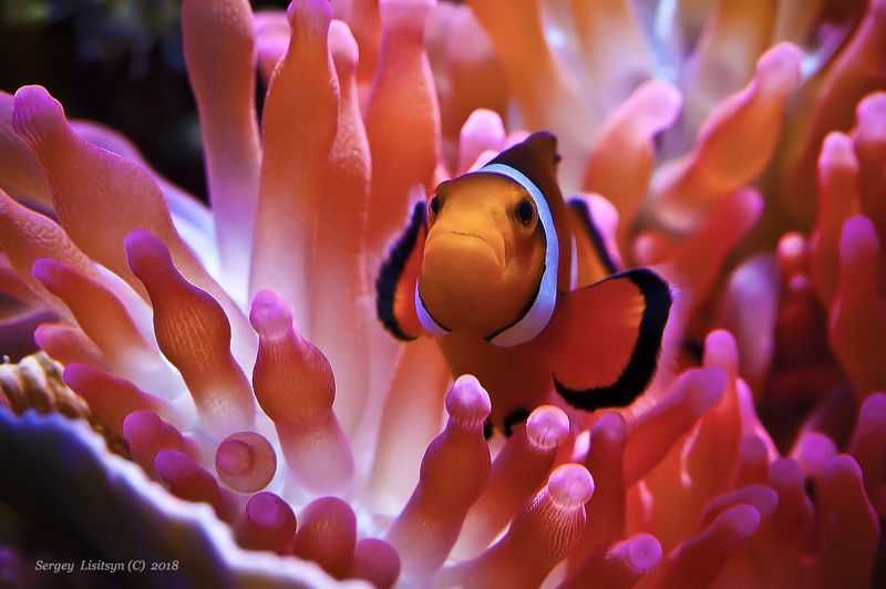 Clownfish.photo preview