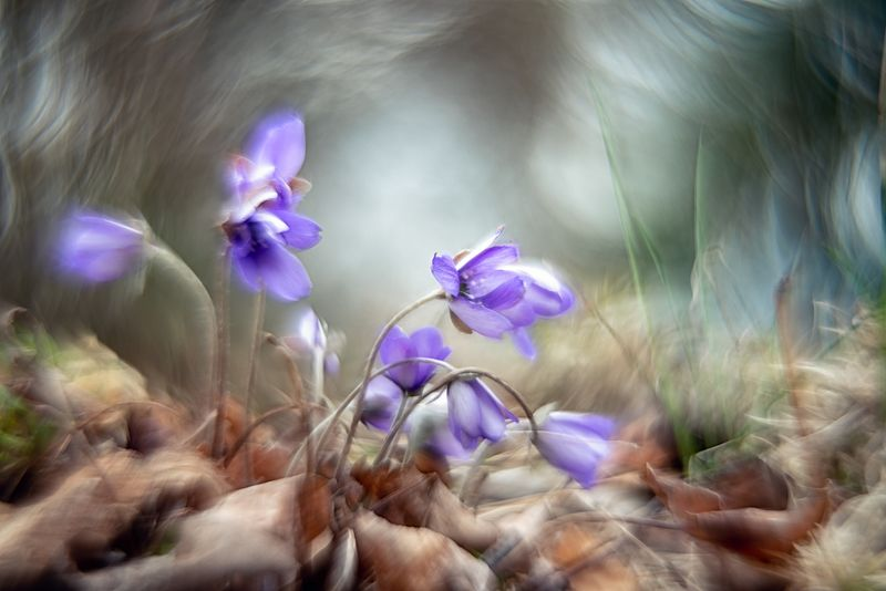 helios, macro, flowers, anemone, blue, abstract, fairytale, Swirly bokehphoto preview