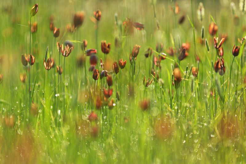 рябчик, малый, fritillaria, meleagroides, увядание, самарский лес Про увяданиеphoto preview