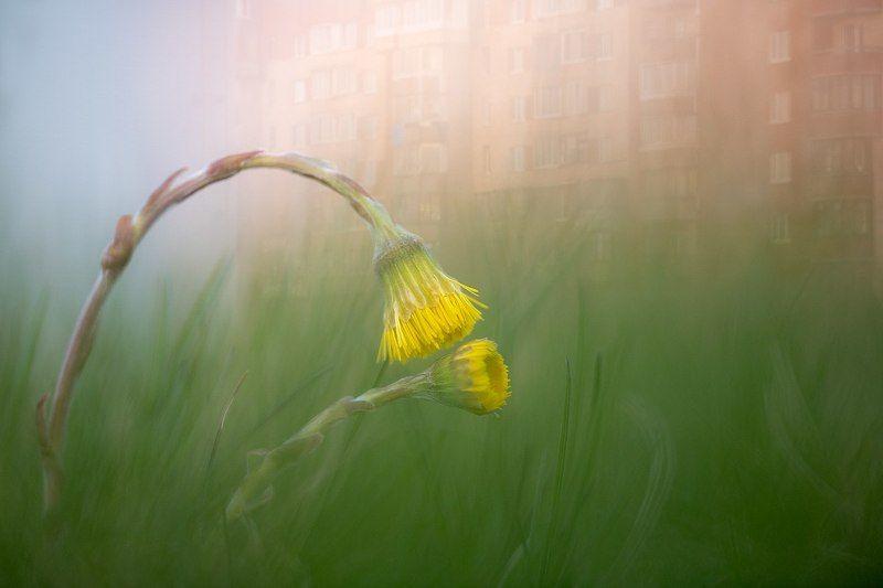 цветы,цветок,макро,растения,природа,желтый,город,закат,бокэ,мультиэкспозиция Городские цветыphoto preview