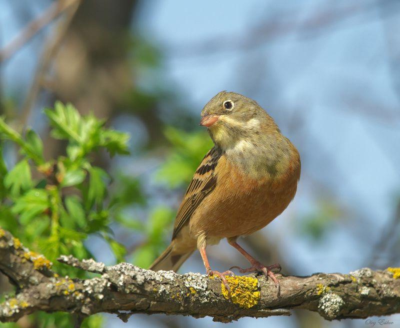 птицы, садовая овсянка КрасавЕцphoto preview