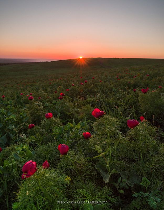 весна, поле, холмы, равнина, долина, утро, вечер, карачаево-черкесия, кавказ, простор, закат, солнце, цветы, пионы, лохмачи ДИКИЕ ПИОНЫphoto preview