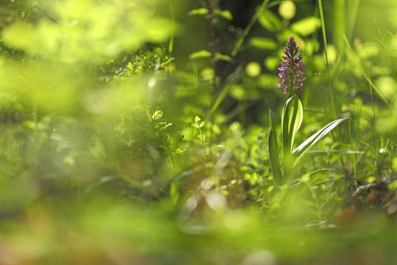 ятрышник, шлемоносный, шлемовидный, orchis, militaris, самарский лес В лесной чащеphoto preview