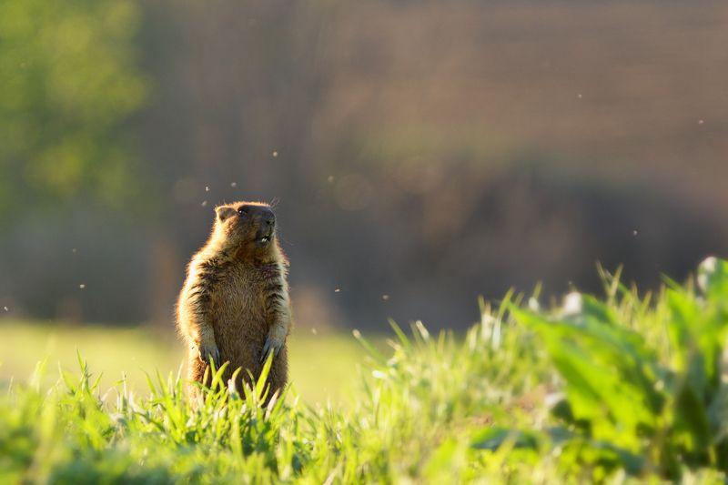 байбак, бабак, степной, сурок, marmota, bobak, самарский лес Бдительный часовойphoto preview