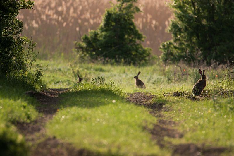заяц, животные, природа, Шесть ушей. Ремейкphoto preview