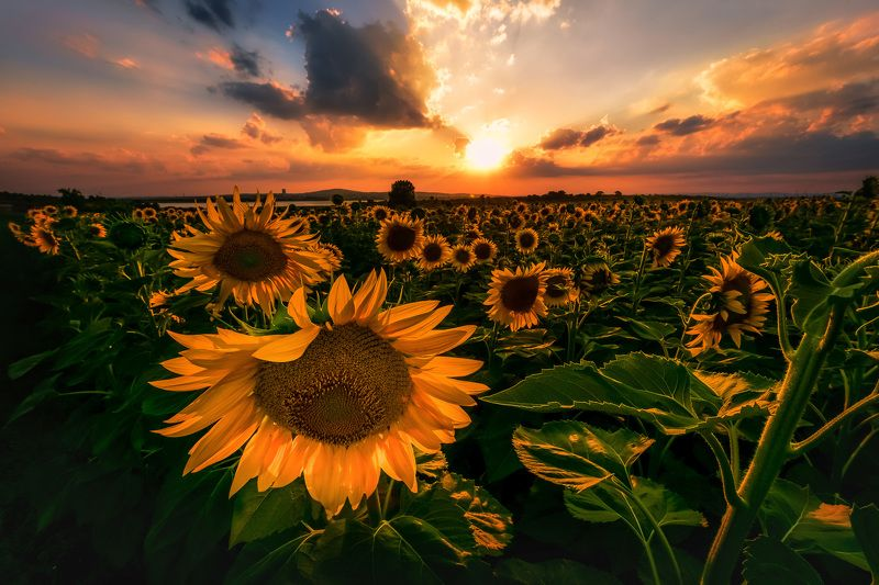 sun, sunset, sunflower,color,green,filed,spring,cloud,nature,landscape,outdoor Sunlightphoto preview
