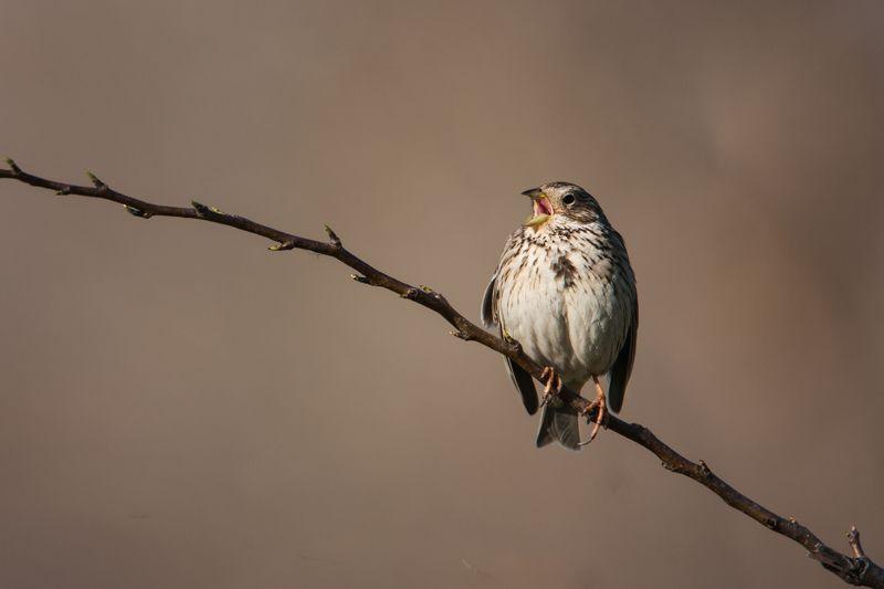 птицы, природа, животные Трель Просянкиphoto preview
