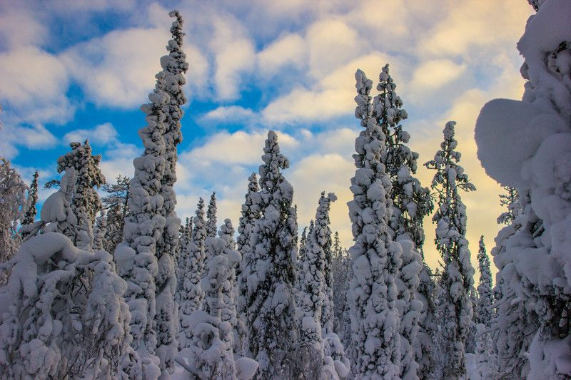зима, сосны, ели, солнце, снег, закат, природа, кольский край, небо, мороз, кандалакша, пейзаж, сугробы, sun #nature #winter #pines #sunset #sky #landscape #drifts #canon #frost Лес Кандалакшиphoto preview