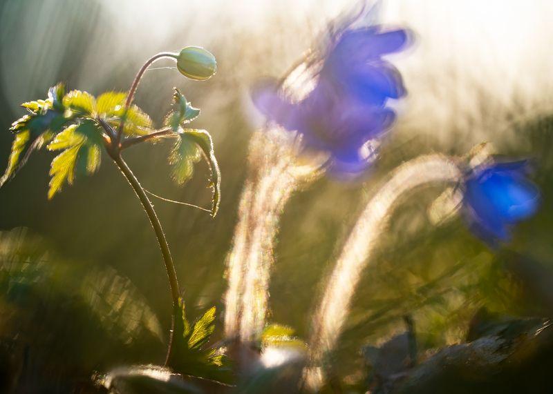 цветы,цветок,макро,растения,бокэ,флора,природа,ветреница,печеночница photo preview