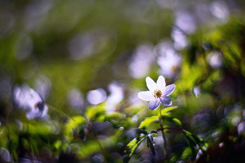 цветы, ветреница, боке, утро, петцваль, весна Время ветреницыphoto preview
