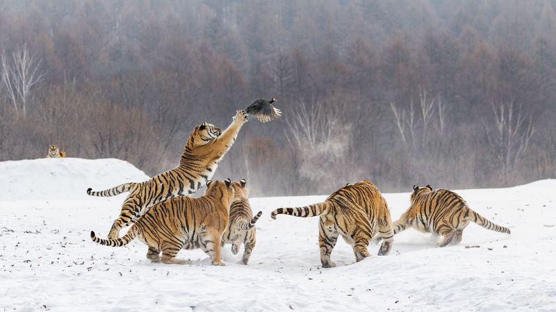 уссурийские тигры, охота, китай photo preview