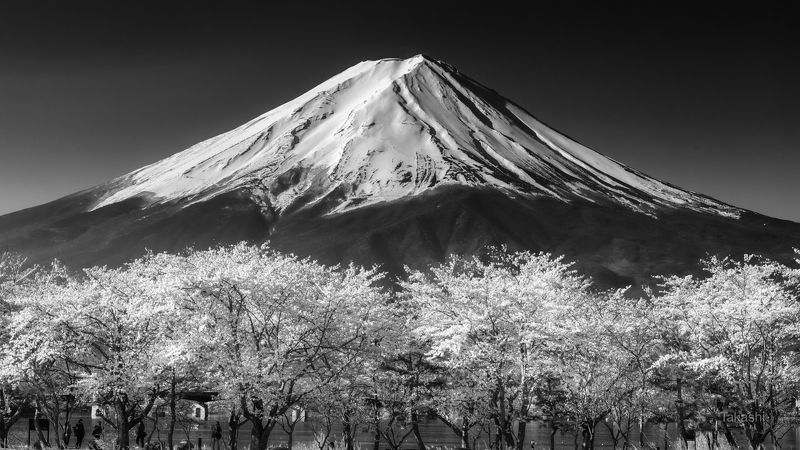 fuji,japan,mountain,snow,sakura,cherry,spring,flower, Sakura full bloom photo preview